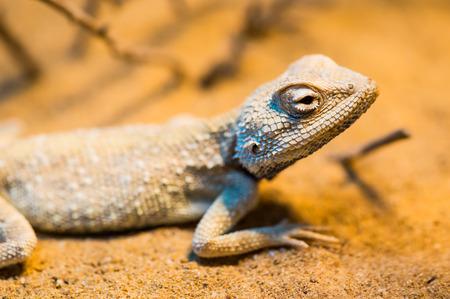 Close Up of Savignys Agama, Thailand