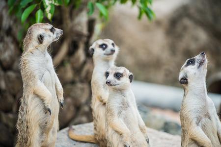 Portrait of Meerkats in Thai, Thailand photo