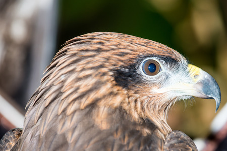 black kite: Head Shot of Black Kite, Thailand