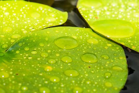 lotus leaf: Drops on lotus leaf, Thailand Stock Photo