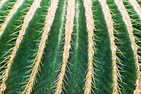 Close Up of Golden Barrel Cactus or Echinocactus grusonii Hildm., Thailand photo