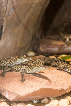 Young Siamese Crocodile on Rock, Thailand photo