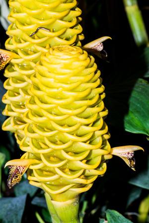 Flower of Zingiber spectabile, Thailand Stock fotó