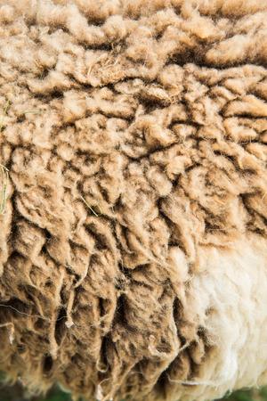 sheep skin:  raw wool or sheep skin, Thailand