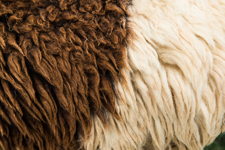 raw wool or sheep skin, Thailand Imagens