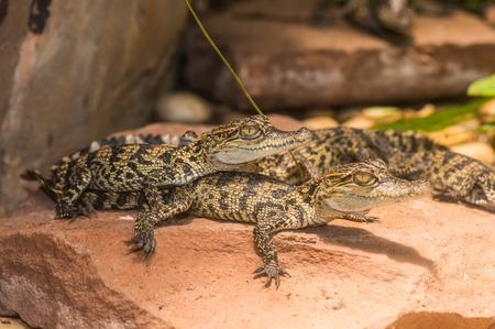 Young Siamese Crocodile on Rock, Thailand Stock fotó