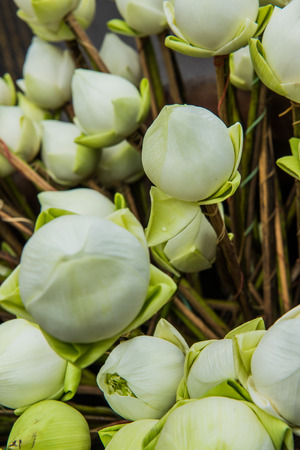 Close up lotus on stand, Thailand