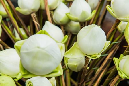 Close up lotus on stand, Thailand photo