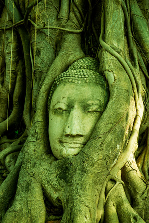 Head of buddha in root at Ayuthaya province, Thailand photo