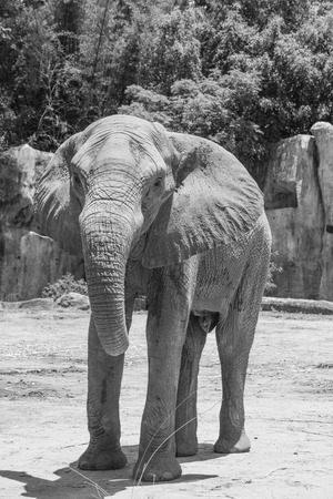 Portrait of African elephant in Thailand photo