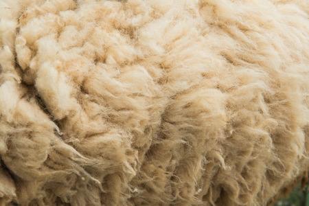 sheep skin: Background of raw wool or sheep skin Stock Photo