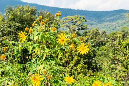 tree marigold: Tree marigold with mountain view, Thailand. Stock Photo