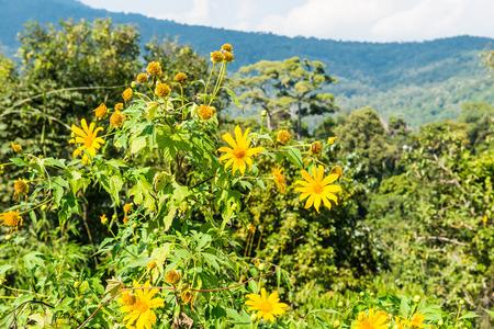 tree marigold: Tree marigold with mountain view, Thailand. Stock Photo