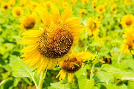 Close up of beautiful sunflower in the field, Thailand. Stock Photo