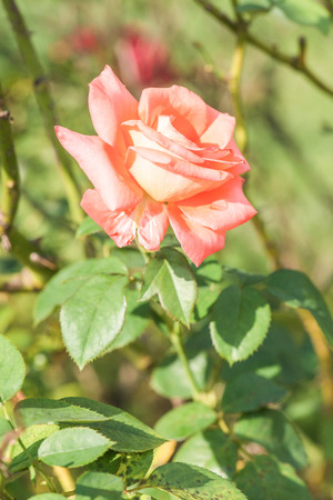 orange rose: Orange rose in garden, Thailand. Stock Photo