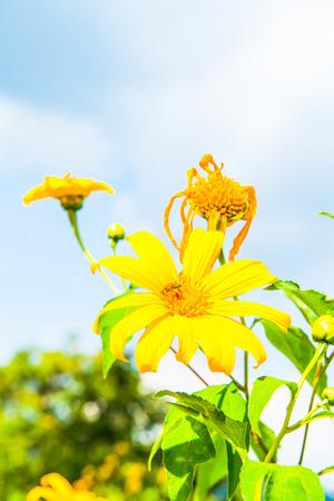 tree marigold: Tree marigold flower with blue sky, Thailand.