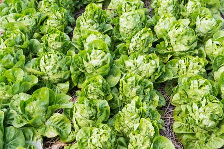 cos: Cos Lettuce in The Garden, Thailand. Stock Photo