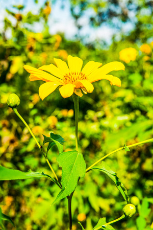 tree marigold: Close up of Tree marigold flower, Thailand.