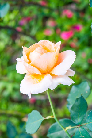 orange rose: Light orange rose in the garden Stock Photo