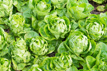 cos: Cos Lettuces Stock Photo