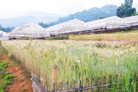wang: Campo de trigo en Chiang Mai Royal Agricultural Research Centre Khun Wang, Tailandia.