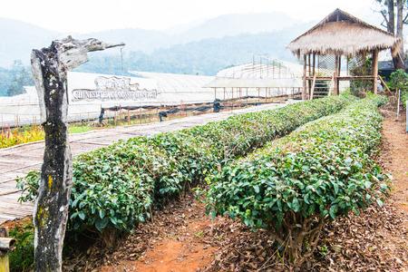 Chinese Tea Garden at Chiang Mai Royal Agricultural Research Centre Khun Wang, Thailand.