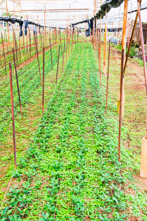 contryside: Strawberry Farm on Mountain, Thailand.