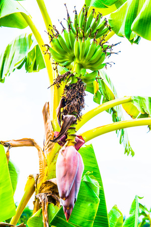 Young green bananas in nature, Thailand photo