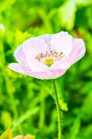 opiate: Opium Poppy with green background, Thailand Stock Photo
