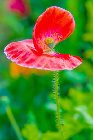 opiate: Close Up of Opium Poppy Flower, Thailand Stock Photo