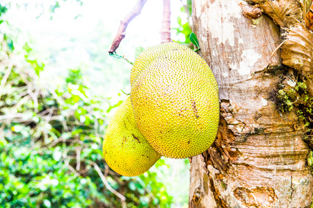 Young Jackfruit on tree, Thailand photo