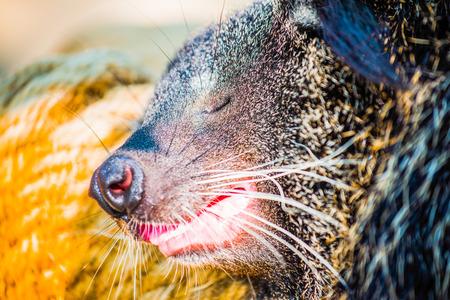 bearcat: Close up of binturong, Thailand Stock Photo
