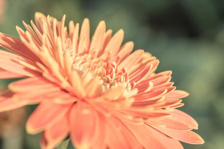 bolus: Close up of Gerbera flower in the garden, Thailand.