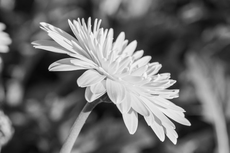 bolus: Gerbera flower in the garden, Thailand.