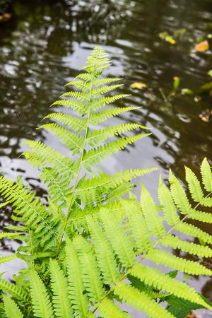 fern leaf: Fern leaf with water background, Thailand.