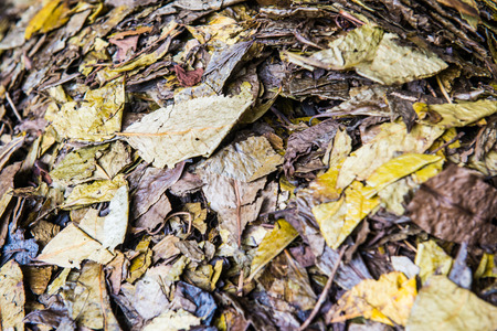 nontraditional: Background of dry tea leaf, Thailand.