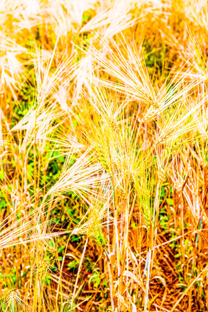 wang: Wheat Field in Chiang Mai Royal Agricultural Research Centre Khun Wang, Thailand.
