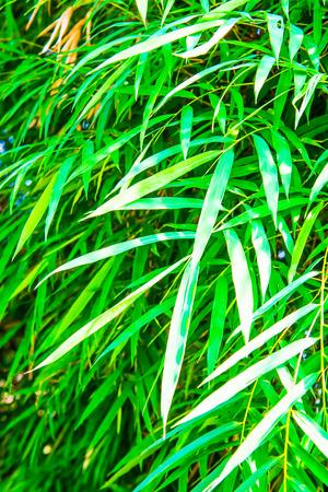 thailand bamboo: Green bamboo leaves, Thailand.