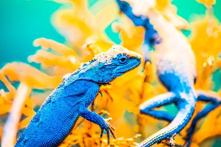 split up: Close Up of Banana Split Mountain Lizard, Thailand Stock Photo