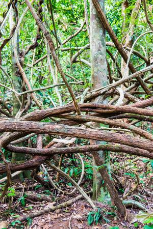 tropical tree: Ra�ces de �rbol tropical en el Parque Nacional, Tailandia.