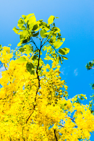 fistula: Golden Shower flower on tree, Thailand Stock Photo
