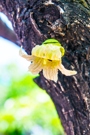 blossoming yellow flower tree: Yellow flower on tree, Thailand.