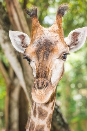 giraffe: Closeup of Giraffe, Thailand.