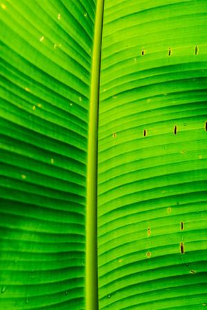 musa: Banana leaves of Musa serpentina Swangpol and Somana, Thailand.