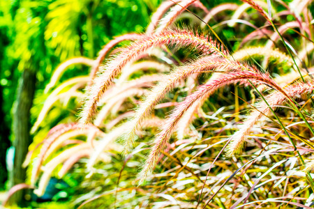 grass flower: Grass flower in nature, Thailand. Stock Photo
