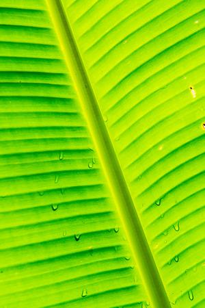 Banana leaves of Musa serpentina Swangpol and Somana, Thailand.