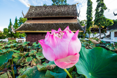 pink lotus: Pink Lotus with Ancient Thai Church in Water Pond, Thailand.
