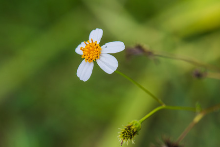 grass flower: Little white grass flower, Thailand.