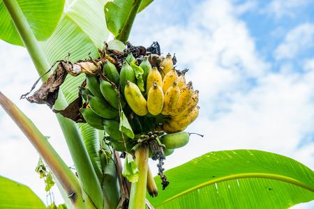 hojas de arbol: fruta de banano en el pa�s, Tailandia. Foto de archivo