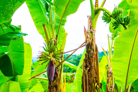 Banana blossom and fruit in country, Thailand. Imagens - 47359781